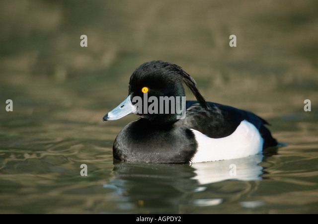 Tufted Duck - Stock Image
