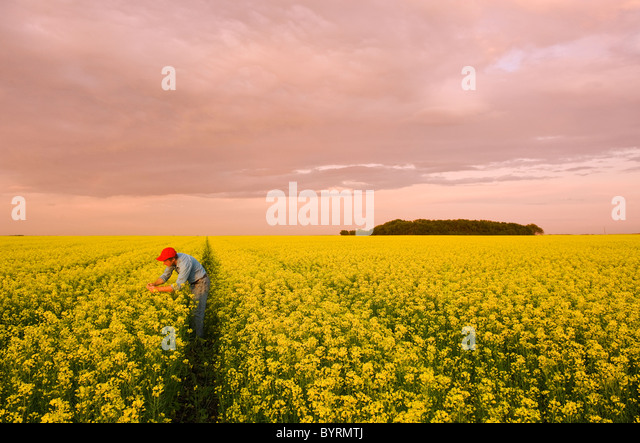 Agriculture - A farmer inspects his bloom stage canola (rapeseed) crop in late afternoon light / near Dugald, Manitoba, - Stock Image