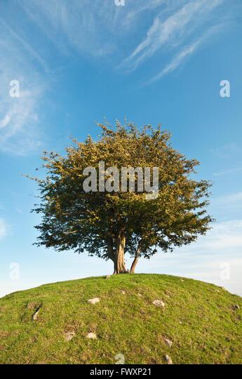 Sweden, Skane, Osterlen, Cherry tree on hill - Stock Image