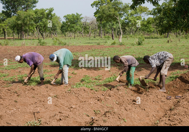 Young men from a Fulani family in a village in Ghana. They are hoeing the ground in preparation for the sowing of - Stock Image
