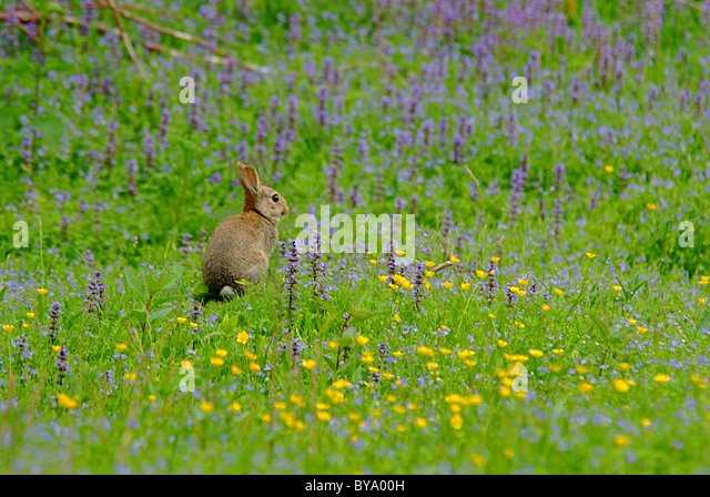Rabbit in meadow - Stock Image
