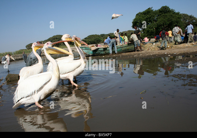 Great White Pelican Pelecanus onocrotalus Being Thrown Pieces Of Fish, Lake Awasa Ethiopia - Stock Image