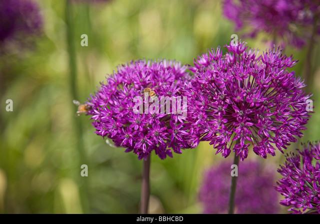 Vibrant purple Alliums - Stock Image
