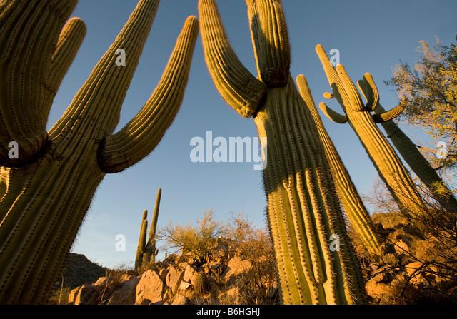 Giant Saguaros Saguaro National Park West Tucson Arizona - Stock-Bilder