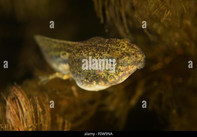 ... (Ceratophyllum submersum), underwater, Danube Delta, - Stock Image