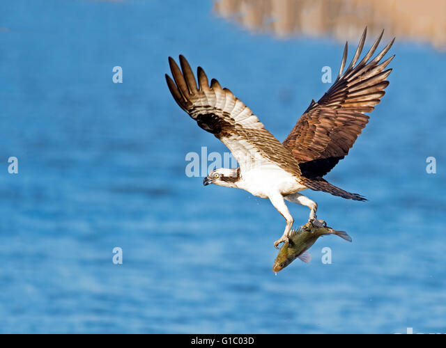 Osprey with Fish - Stock Image