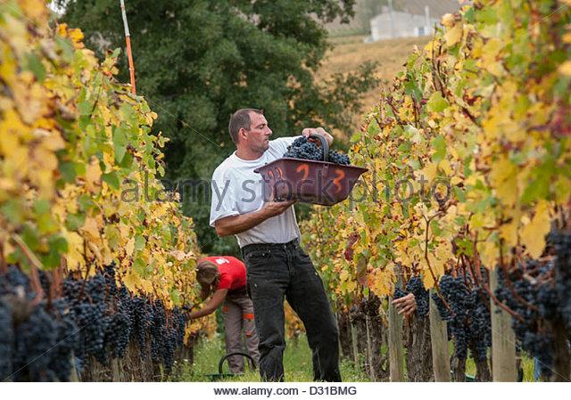 France,Saint Emilion,Harvest in a field of grand crû classé of Bordeaux.©William Stevens - Stock Image
