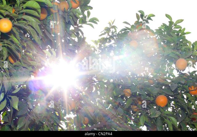 Fresh oranges growing on tree - Stock Image