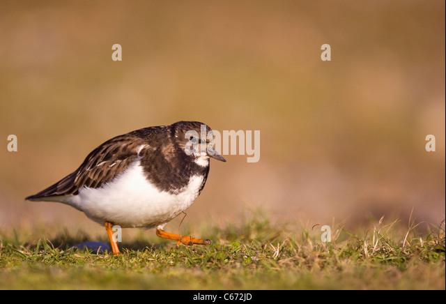 TURNSTONE Arenaria interpres An adult walking in profile. January. Norfolk, UK Photographer.Andrew Parkinson - Stock-Bilder