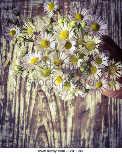 Daisies Bouquet - Stock Image