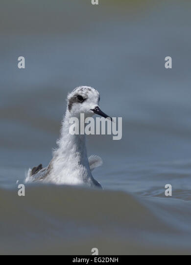 Red-necked phalarope (Phalaropus lobatus) - Stock-Bilder