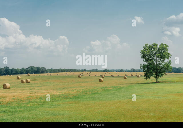 Summer hay field with rolled cut hay and a lone tree standing sentry. - Stock Image