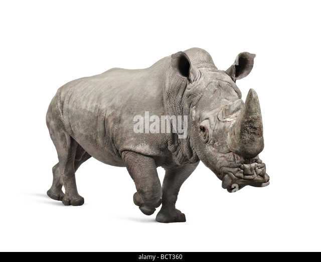 White Rhinoceros or Square lipped rhinoceros, Ceratotherium simum, 10 years old, in front of a white background - Stock Image