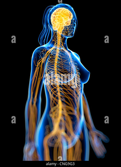 Nervous system  artwork - Stock Image