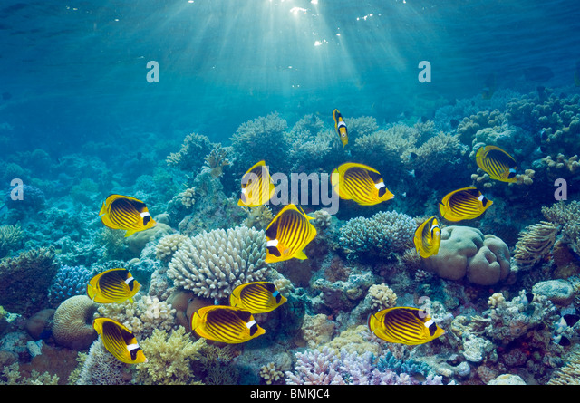 Red Sea racoon butterflyfish, swimming over coral reef in unusually large numbers.  Red Sea, Egypt. - Stock Image
