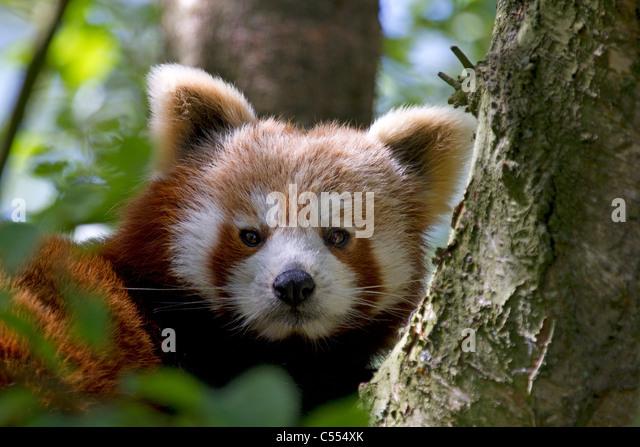 Red Panda, Ailurus fulgens rests in tree - Stock Image