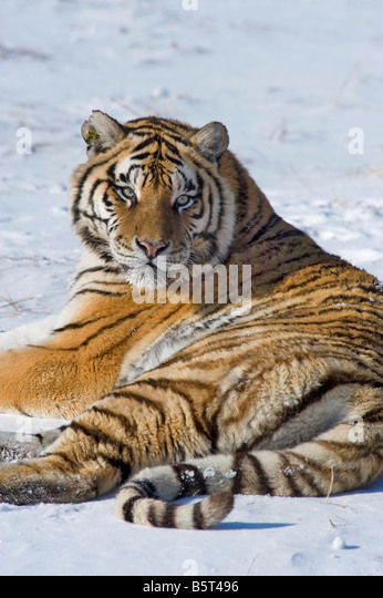 Amur or Siberian tiger Panthera tigris altaica relaxing in winter in Heilongjiang China - Stock Image