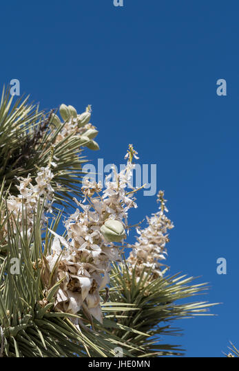 Blooms of Joshua Tree on Blue Sky with copy space - Stock Image