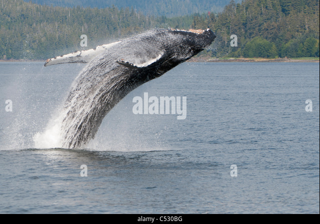 Humpback Whale breaching in Frederick Sound, Inside Passage, Southeast Alaska, Summer - Stock-Bilder
