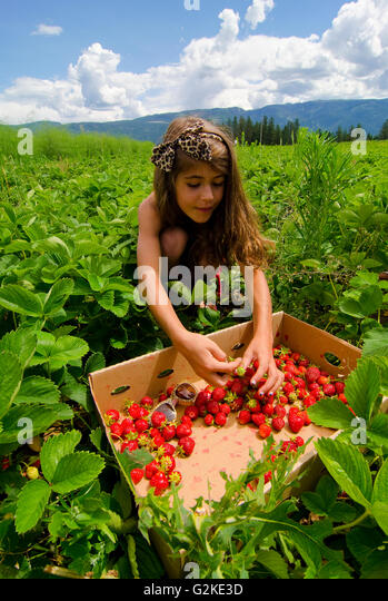 Young girl picks strawberries at Okanagan Asparagus Farm in Armstrong in Okanagan region of British Columbia Canada - Stock Image