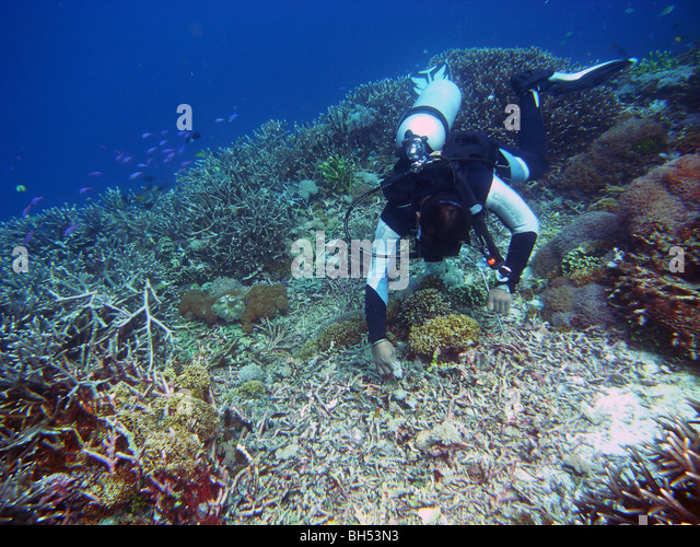 Diver inspecting blast crater in coral reef resulting from dynamite fishing, Komodo Marine Park, Indonesia. No MR - Stock Image