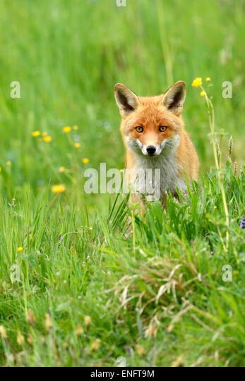 Red fox (Vulpes vulpes), Canton of Zurich, Switzerland - Stock Image