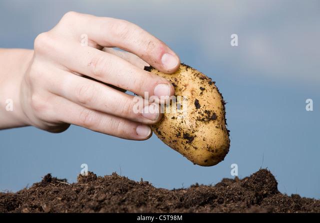 Hand holding potato - Stock Image