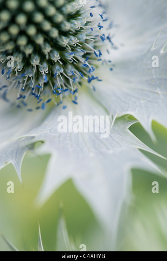 Eryngium giganteum. Sea Holly, 'Silver Ghost' flower abstract - Stock-Bilder