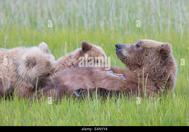 Grizzly bear cubs suckling in grassy meadow - Stock Image