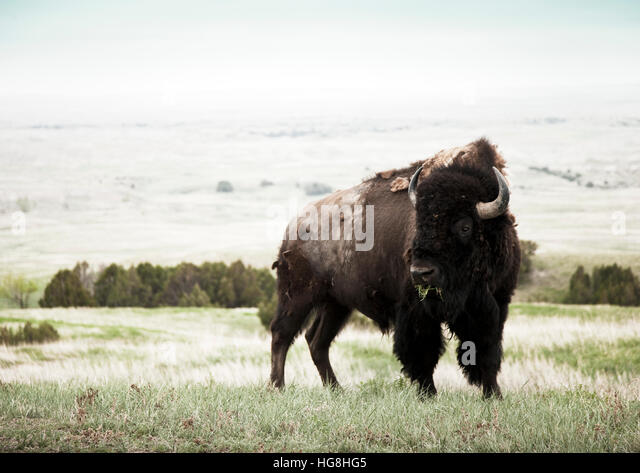 A bison buffalo chews grass in a field in Badlands National Park, South Dakota - Stock-Bilder