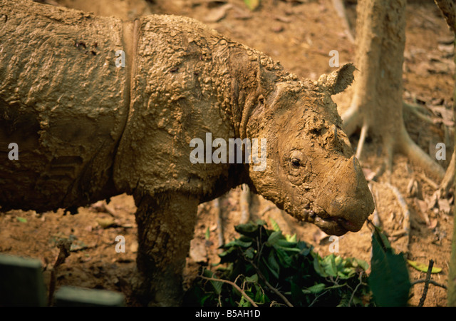 The rare hairy rhino, smallest type of rhino at Sepilok Orang-Utan Sanctuary, near Sandakan, Sabah, Malaysia, Borneo - Stock Image