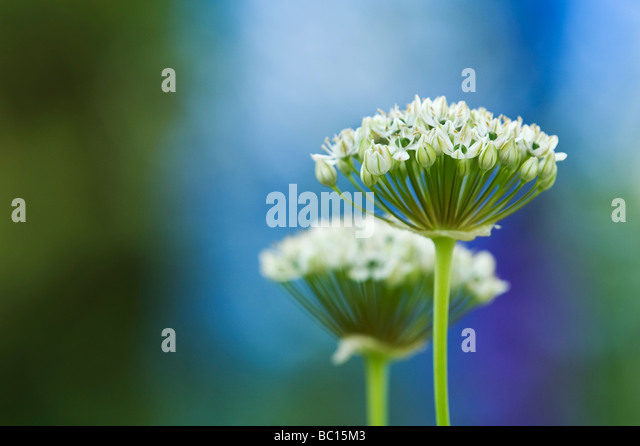 Allium Nigrum. Ornamental onion / black garlic flowers - Stock Image
