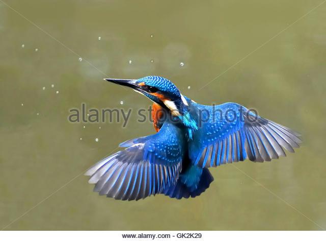 kingfisher in flight - Stock Image