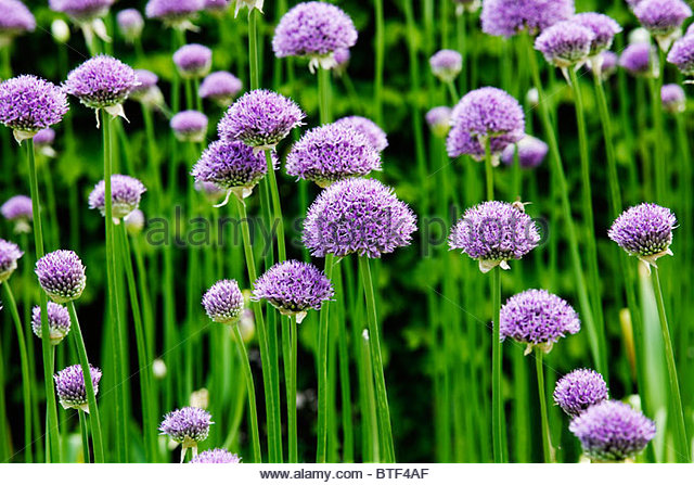 Allium 'Purple Sensation' - Stock Image