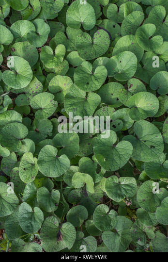 Mass of young leaves / foliage of Butterbur [Petasites hybridus]. - Stock Image