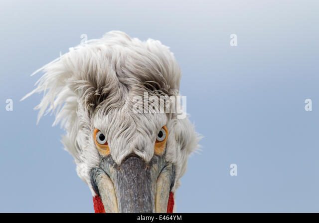 Dalmatian pelican (Pelecanus crispus) abstract head portrait, Lake Kerkini, Greece, March - Stock Image