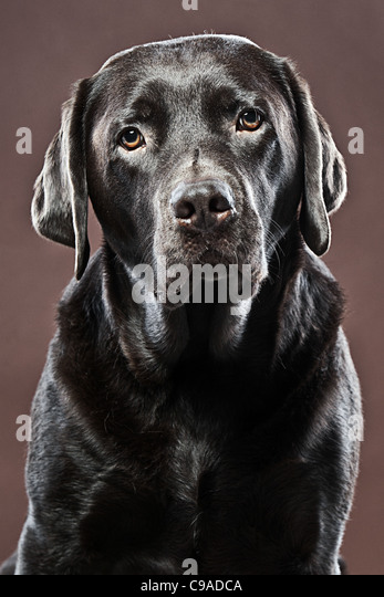 Sad Looking Chocolate Labrador against Brown Background - Stock Image