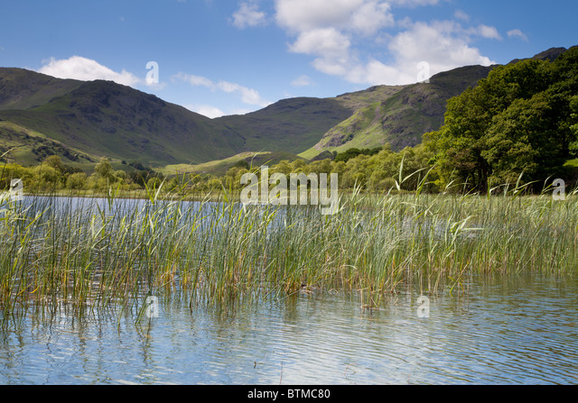 Reeds growing in a Lake District Tarn - Stock Image
