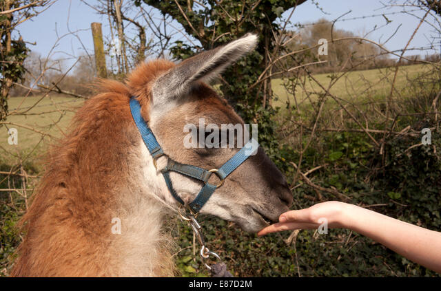 Llama head close up being fed by hand - Stock Image