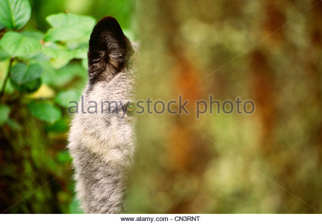 Grey Wolf, British Columbia, Canada - Stock Image