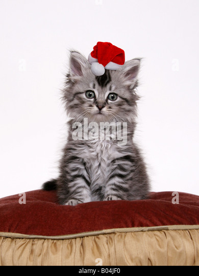An adorable expression on a cute tabby kitten sitting on a red and gold pillow with a Santa Claus hat on her head - Stock Image