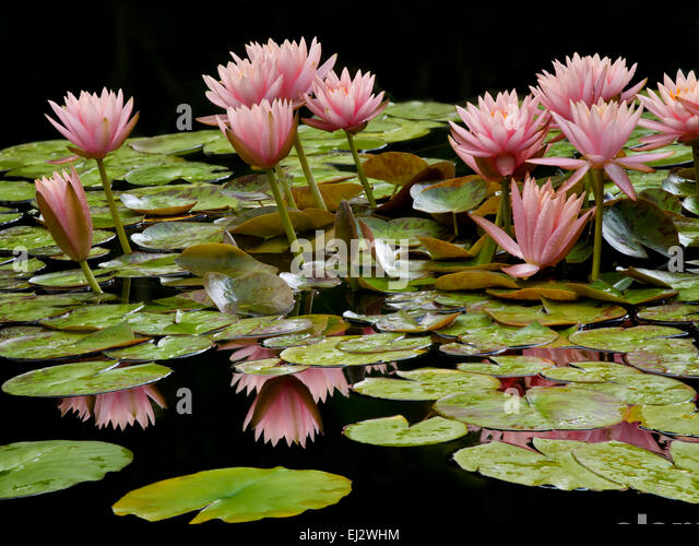 Water lilies in bloom in pond.with reflection. Oregon - Stock-Bilder