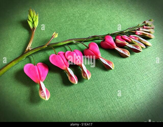 A stem of pink bleeding heart flowers. - Stock-Bilder