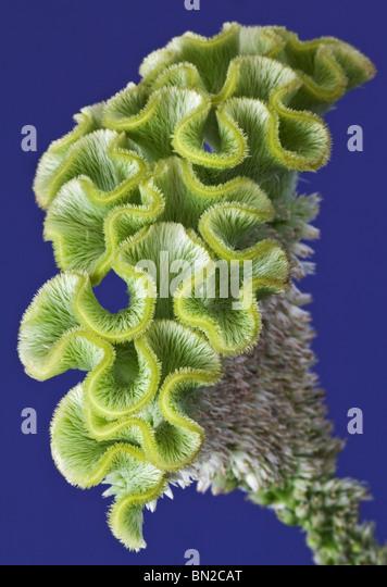 Green Celosia - Stock Image