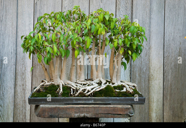 weeping fig stock photos weeping fig stock images alamy. Black Bedroom Furniture Sets. Home Design Ideas