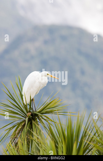 Great White heron / Great Egret sitting in a Cabbage Tree. Fiordland National Park, New Zealand - Stock Image