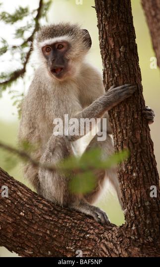 a vervet monkey in a tree, Kruger National Park, South Africa - Stock Image