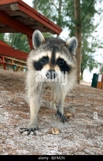 a raccoon beside a picnic table in a Florida park - Stock Image