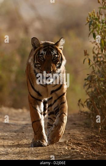 Wild Bengal tiger, Panthera tigris, walking on track, front, Ranthambore N P, India - Stock-Bilder