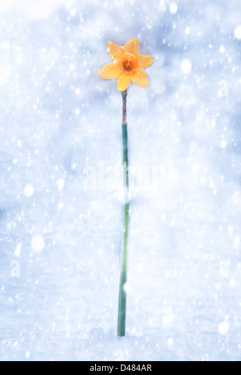 daffodil during snow storm - Stock Image